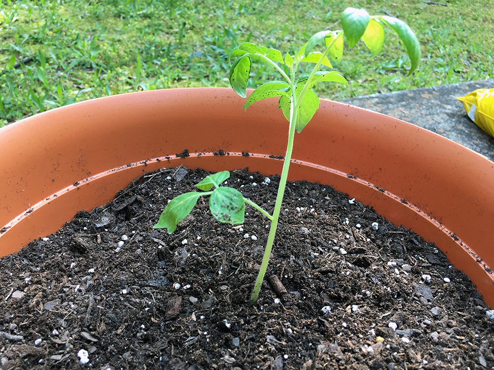 How We Transplanted Our Jelly Bean Tomato Plants