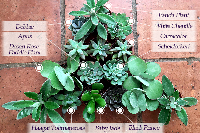 Succulent Names Southern Patio