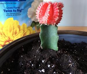 Cactus plant in bowl