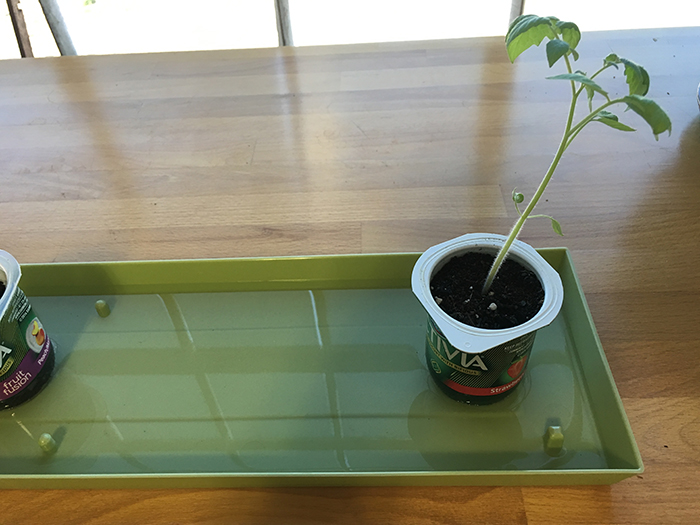 jelly bean tomato seedlings