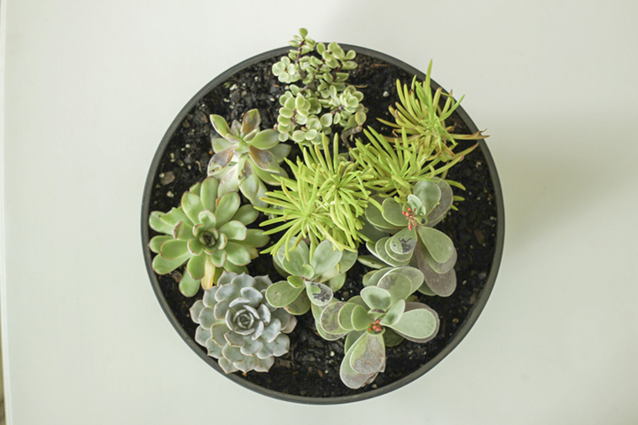 Top down view of succulents in planter bowl