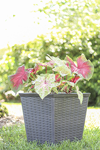 jamaica planter