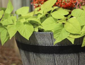 Sweet Potato Vine Hanging Over Planter