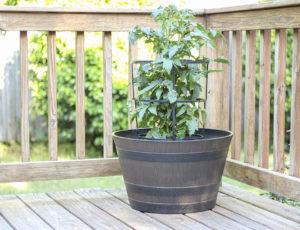 whiskey barrel planter with tomato plant