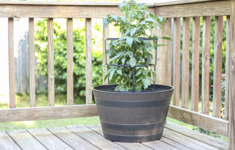 whiskey barrel planter with tomato plant