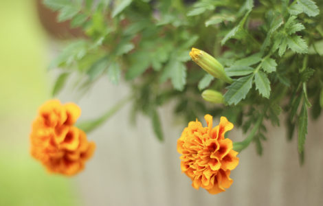 Marigold New Bloom Starting After Deadheading