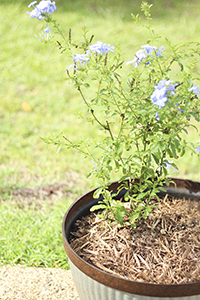 Blue Flowers in Galvanized Planter with Mulch