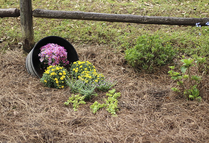 Spilled Flower Bed with Mums Mexican Heather and Creeping Jenny