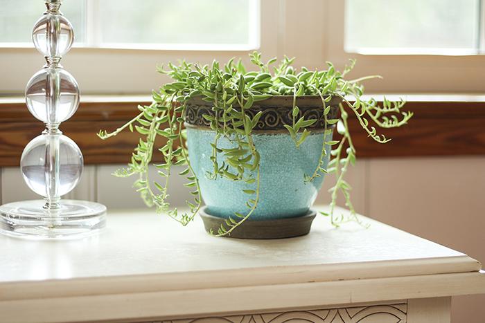 blue ceramic planter with String of Bananas plant