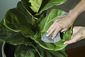 Wiping down Ficus leaves in Southern Patio Unearthed planter